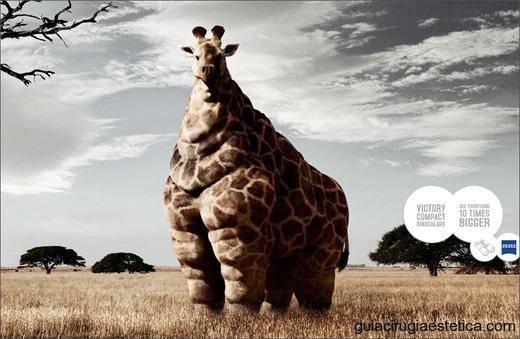 Jirafa muy obesa